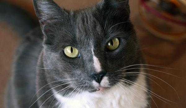 Thomasina Breed Cat